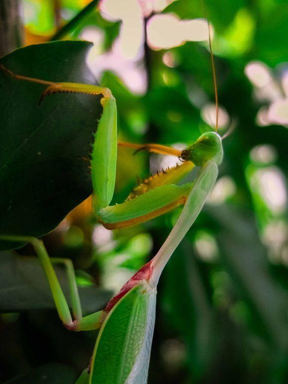 Martial Mantis