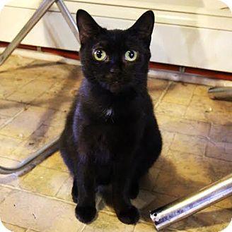 Toronto, ON - Domestic Shorthair. Meet Minou, a cat for adoption. http ...