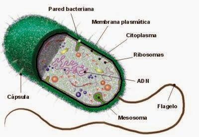 cienciasnaturales1cssa: Diferencias entre células procariotas y células…