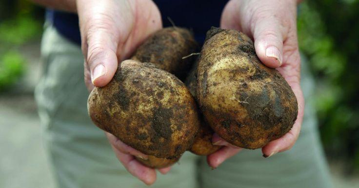 Kartoffeln sind ein äußerst vielseitiges und gesundes Gemüse. Mit dieser Anbaumethode gelingt selbst auf dem Balkon eine reiche Kartoffel-Ernte.