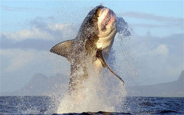 The Great White...