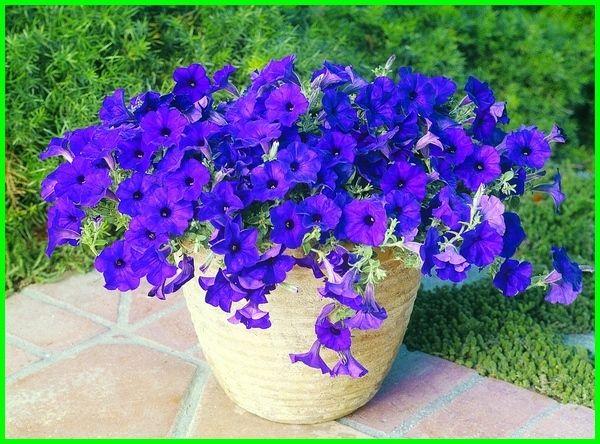 10 Aneka Jenis Bunga Petunia Paling Cantik Dunia Fauna Hewan Binatang Tumbuhan Wave Petunias Petunias Plants For Sale Online