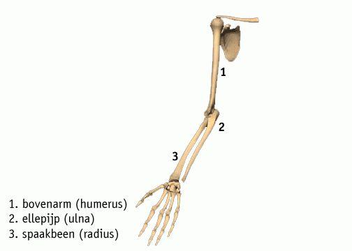 beenderen arm