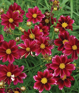 Deer resistant flowers: Coreopsis, Mercury Rising. Excellent disease resistance, low maintenance plant that does not need deadheading and is a magnet for butterflies and honeybees.  Perennial. Full Sun. Height: 15-18  inches. Bloom Season: Fall, Summer.