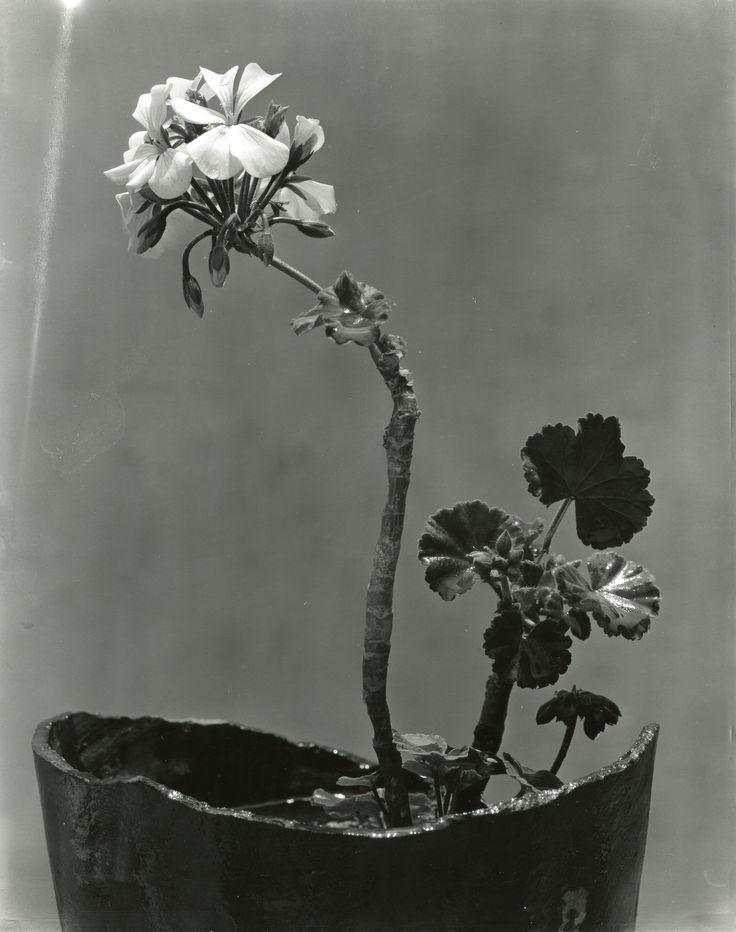 TINA MODOTTI Maceta con geranios. Impresión de negativo donado por Vittorio Vidali. Fototeca INAH.