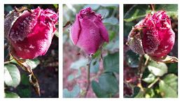 Roses from Wilcza Gora http://wilczagora.blogspot.com
