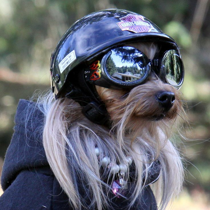 The Harley Davidson Motorcycle Dog. http://www.pinterest.com/petmoods/the-harley-davidson-motorcycle-dogs/