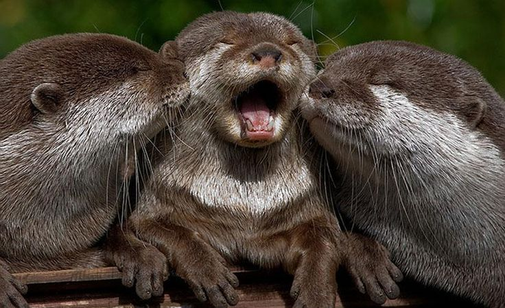 Singing otters. One more & they'd have a barbershop quartet. :-)