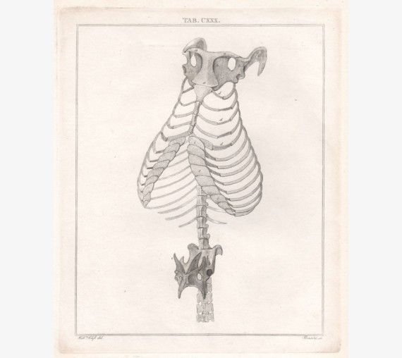 From 'Lectures On Comparitive Anatomy In Which Are Explained The Preparations In The Hunterian Collection' by Sir Everard Home, 1823. William Clift was the first conservator of the Hunterian Museum.