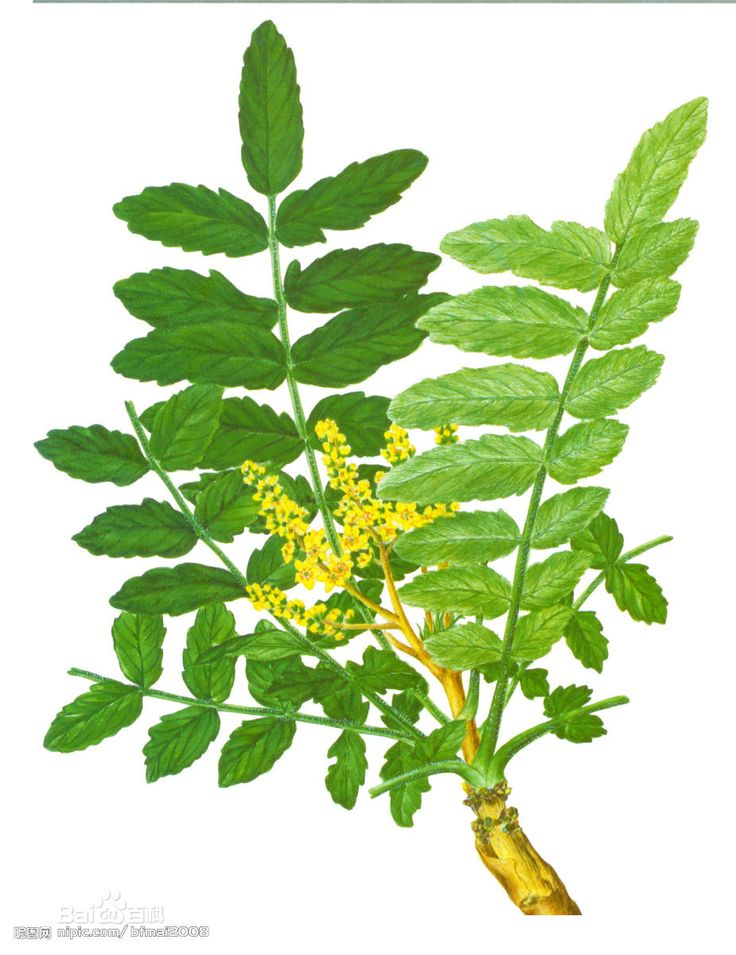 boswellia carterii - Google Search