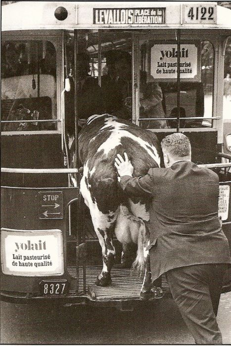 :::::::: VIntage Photograph :::::::: Yup, that's a cow being pushed onto a bus, in France. 1960