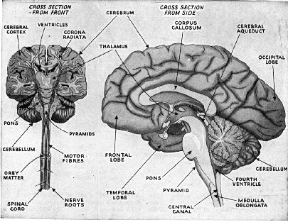 left hemisphere of the brain and limbic system   the cerebrum are the structures of the cerebellum and brainstem