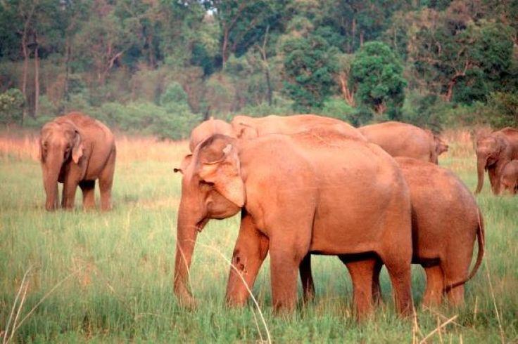 Afrikanischer Elefant: Gefährdet (© Bild: WWF)