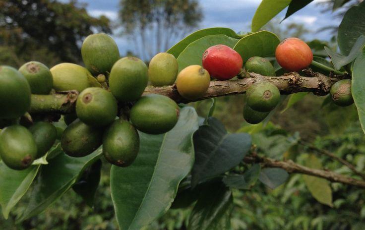colombia . valle de cocora . salento . coffee region . zona cafetera