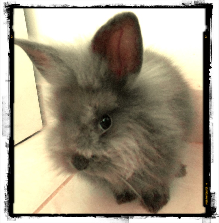 Emmy  #bunny #little: Emmy Bunnies, Bunnies Little,  Angora Rabbit