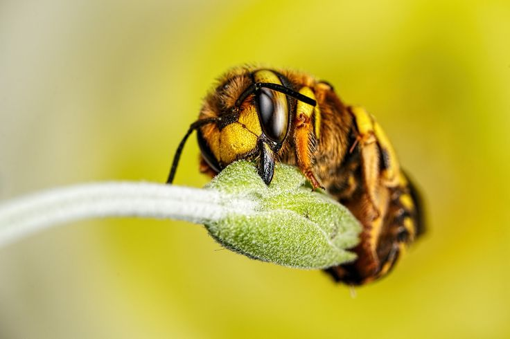 Wool Carder Bee Series 1-4 | The way that they sleep is real… | Flickr - Photo Sharing!
