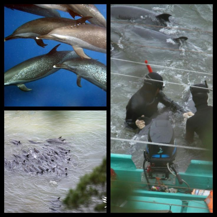 (79) Twitter The story of the latest marine park collection.  #Taiji takes wild dolphins for your entertainment #OpKillingBay