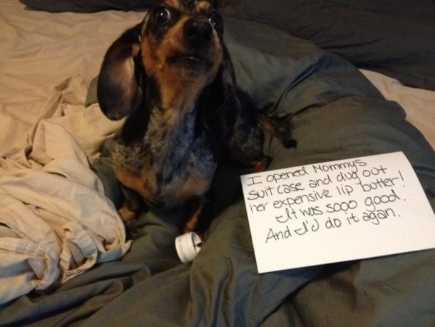 Dachshund Shaming: Sorry Rio, but These are Funny | Doxie ...