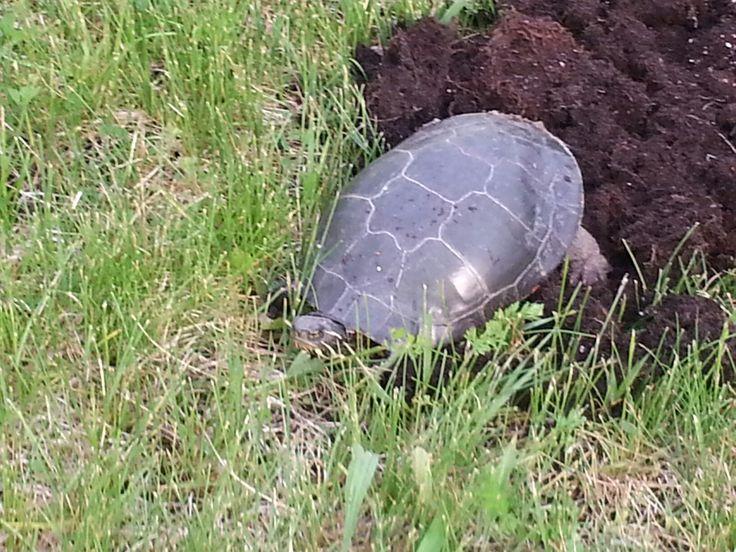 Painted turtle laying eggsbackyard Gnebigokaag