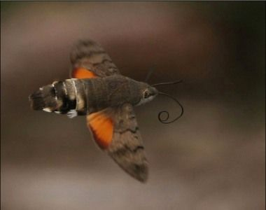 Snel vliegende nachtvlinder die regelmatig als een kolibrie stil hangt om nectar te zuigen uit bloemen. Het achterlijf heeft een opvallende zwart-witte tekening die zichtbaar is in de vlucht. Vroeger kwam deze soort enkel hier voor in warme zomers, de laatste jaren is hij heel talrijk geworden, en overleeft hier zelfs de winter. Waanzin toch?