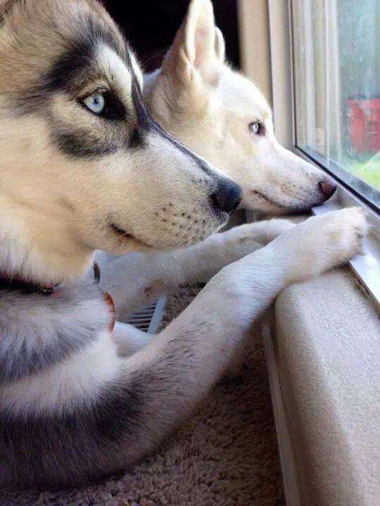 Siberian Huskies waiting & watching