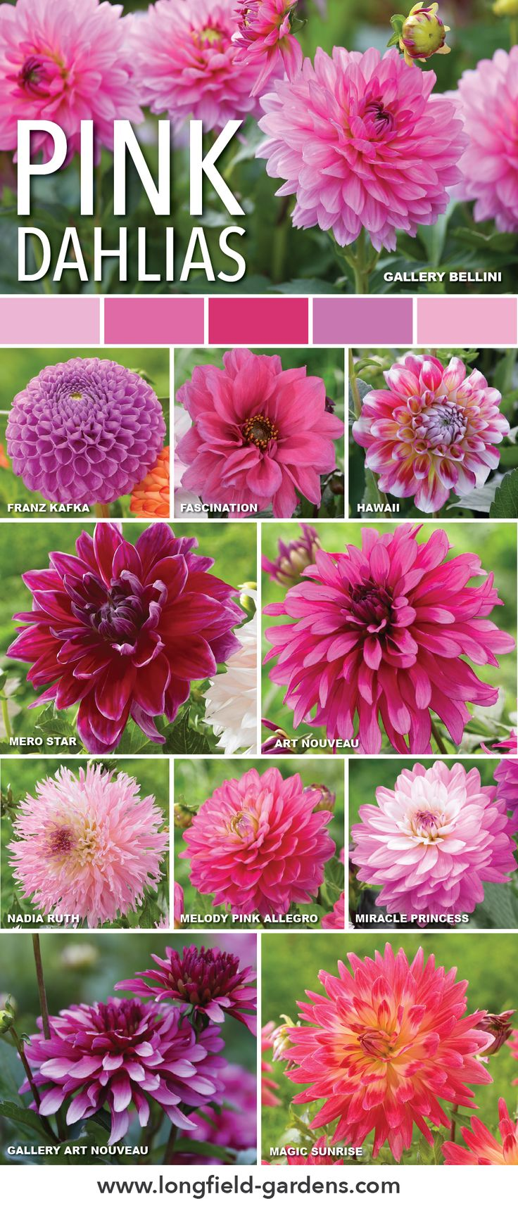 44 best dahlias images on pinterest beautiful flowers dahlia and pink dahlias add a bold or delicate touch to your garden izmirmasajfo Gallery