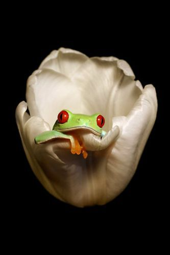 Frogs, by Angi Nelson. Red Eye Tree Frog~Red-eyed tree frogs inhabit areas near rivers and ponds in rainforests from southern Mexico, through Central America, to northern Colombia.