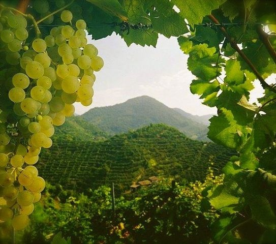 Lying north of Venice in the province of Treviso, in the foothills of the Marco Trevigiana running from Valdobbiadene to Conegliano, is the Prosecco DOCG wine zone. Vineyards take up just about every square food of land, amongst picturesque...