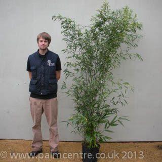 Black Bamboo (Phyllostachys nigra): 4-5m max height.