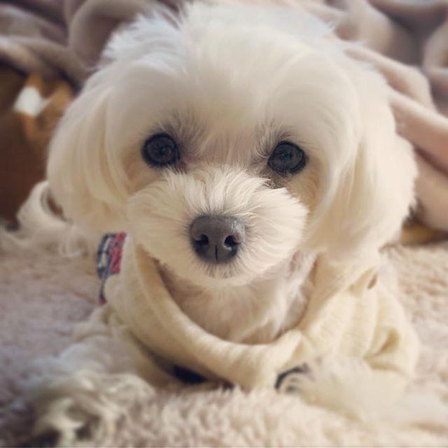 ☺︎2018.1.2 ❤︎*。 にーたん寝正月🎍 * お散歩に行ったら足が痛そう…💧 * ちょっと安静にしとこうね(´·_·`) * #マルプー#まるぷー #マルプー連合 #マルチーズ #マルチーズミックス #トイプードル #トイプードルホワイト #maltipoo #maltipoosofinstagram #maltese #malteseofinstagram #toypoodle #mixdog #mix犬 #ミックス犬 #ミックス犬同好会 #白犬#whitedog #dog#instadog#cute #ふわもこ部 #ニコ#にーたん#愛犬#말티즈#푸들