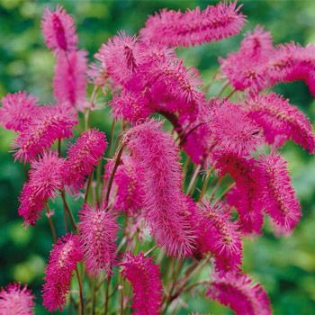 Japanese Bottlebrush...for zones 4-9; Suitable for prairie planting, naturalizing and wildlife, this unique, drought-tolerant plant takes very little maintenance.