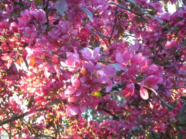 A tree in my garden. The blooms last for only one week!