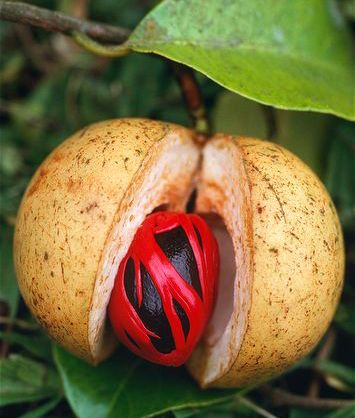 Fresh Nutmeg ( Myristica fragrans). Lacy Mace over the nut and all wrapped in a secure pod. Photo: Steve Warrington