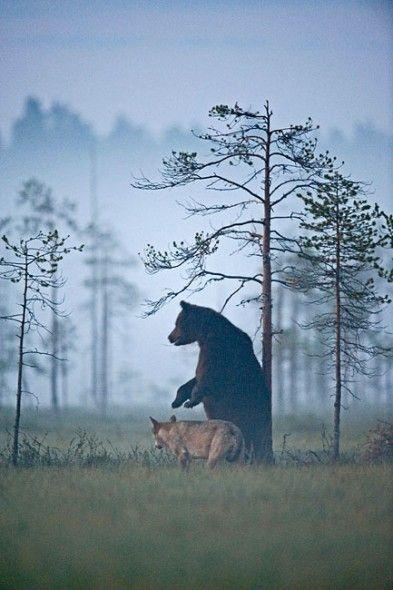 Ungewöhnliche Freundschaft: Bär und Wolf streifen gemeinsam durch die Wälder: Die Trennung
