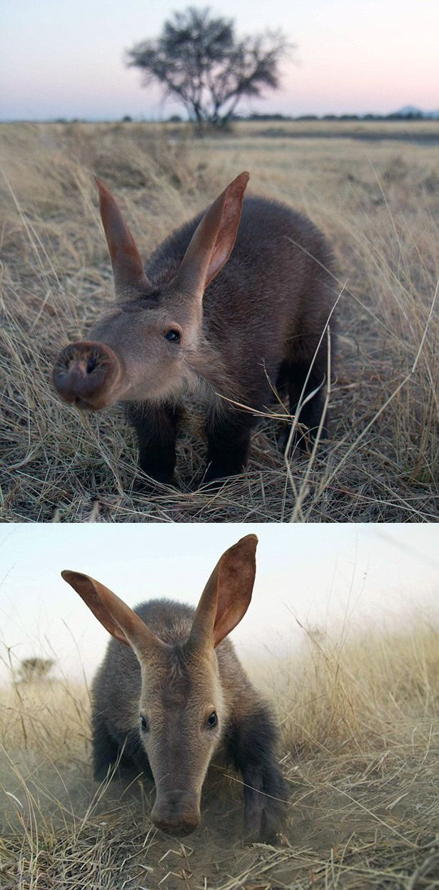 Africa | Baby aardvark.  Namibia | Image ©Andrew Bowden (Top) and Jack Somerville (Bottom)  || Source; www.dailymail.co....