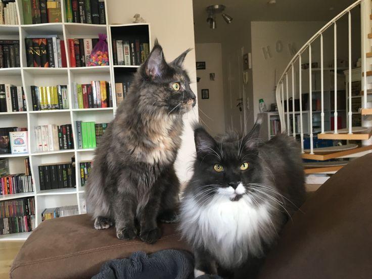 Maine Coon, Mainecoon, Katze, Bonnie&Clyde