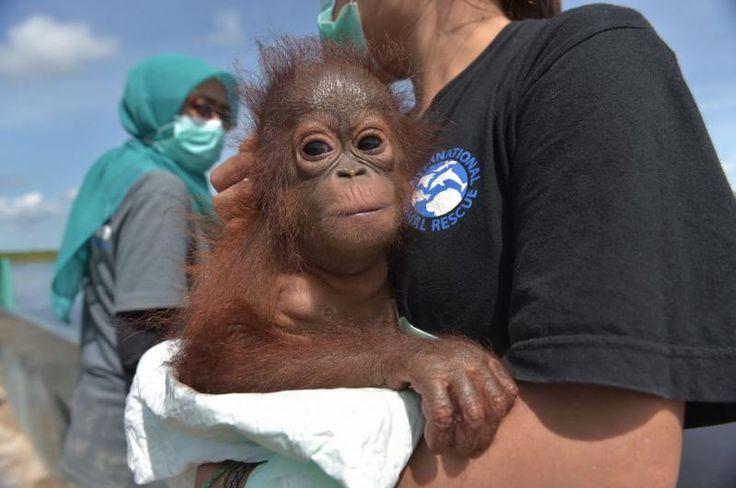 Un #bebé orangután es liberado de su cautiverio en Indonesia