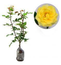 Mawar Kuning Rp 35,000
