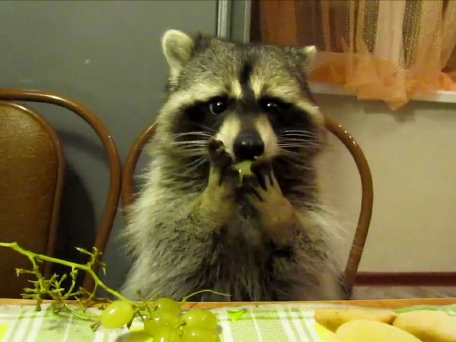 Image result for Raccoons eating grape