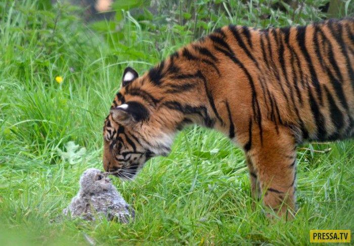 В английском зоопарке в вольер к тигру упал маленький совенок (7 фото)