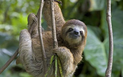 Google Image Result for http://gifts.worldwildlife.org/gift-center/Images/large-species-photo/large-Three-toed-Sloth-photo.jpg