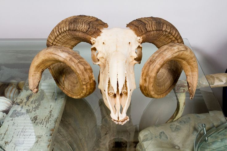 ram skull - Google Search