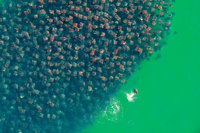 An amazing picture of thousands of rays swimming through the ocean in a colossal school    Photo credit: Florian Schulz: Bajacalifornia, Manta Ray, Devilray, The Ocean, California, Devil Ray, Mantaray, Underwater World, The Sea