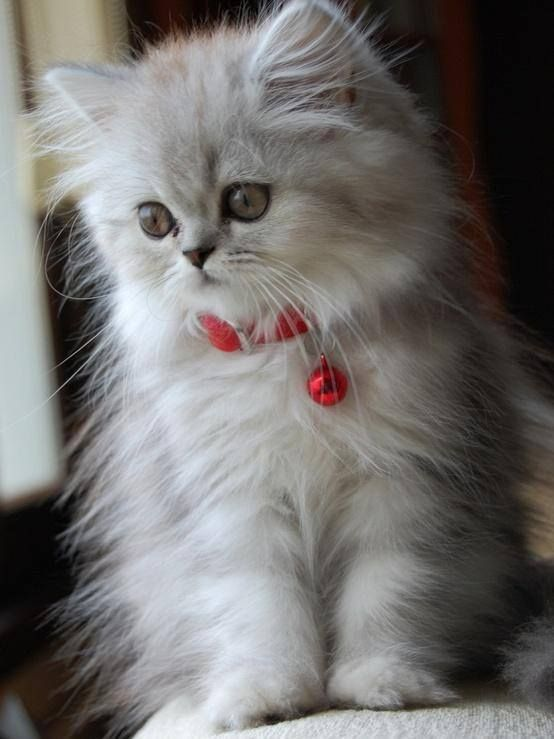 beautiful little fuzz ball that I wish I could cuddle!