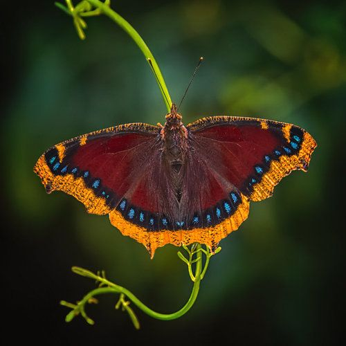 Nymphalis angiopa, mariposa de capa