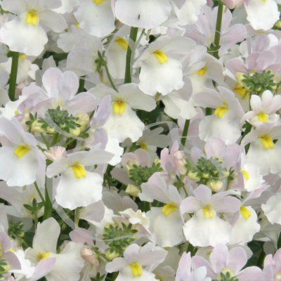 Amazing vanilla scented flowers all summer long Compact ...