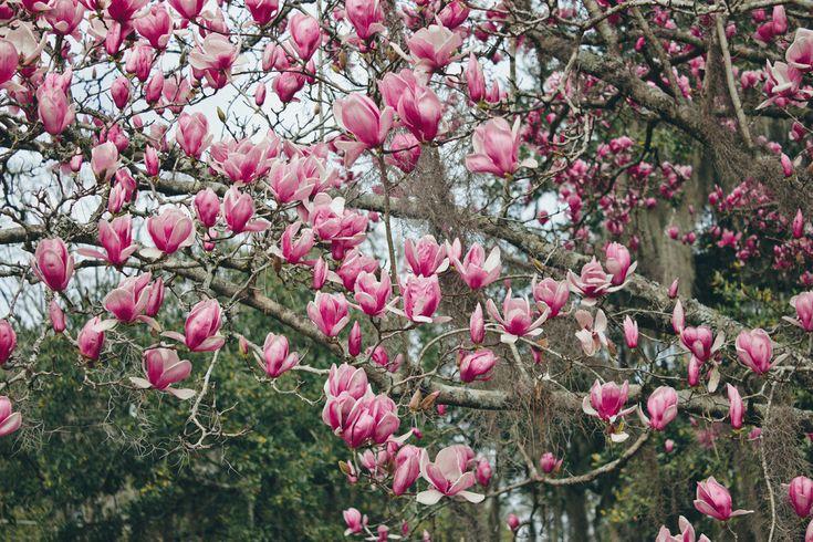 Plant Profile: Japanese Magnolia — Bloom