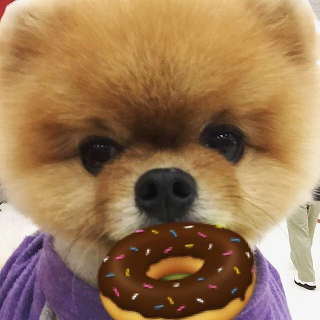 Best Jiff Pom Images On Pinterest Beautiful Baby Animals And - Jiff the pomeranian is easily the best dressed model on instagram