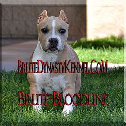 POCKET BULLIES AND BULLY PITBULL PUPPIES FOR SALE AT BRUTE BLOODLINE BRUTE DYNASTY KENNEL IN GEORGIA, CALIFORNIA AND COLORADO