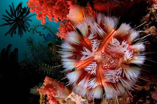 Coleman Shrimps and Fire Urchin